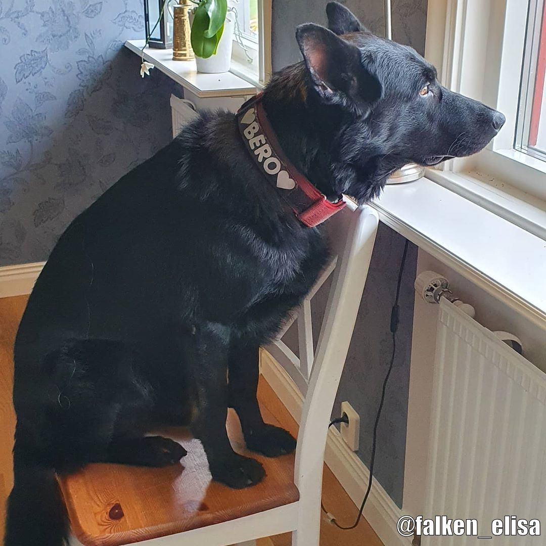 Julius-K9 C&G Med Handtag Hundhalsband - Kundbild