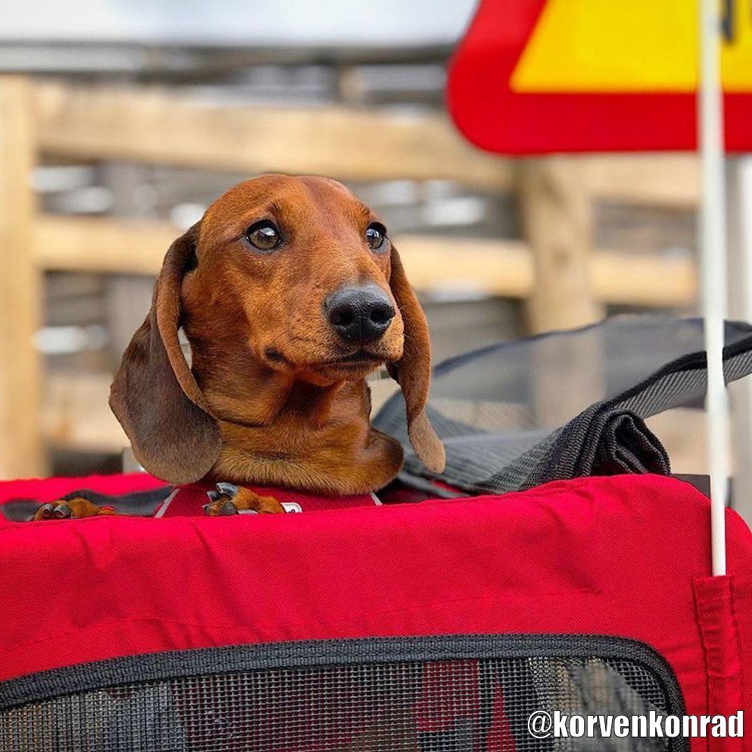 Röd Cykelvagn för Hund - Kundbild